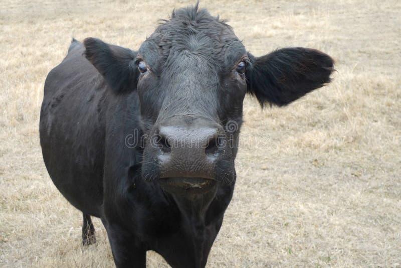 Черная корова в вашем выражении стороны стоковое изображение rf