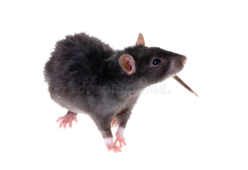 черная крыса стоковая фотография rf