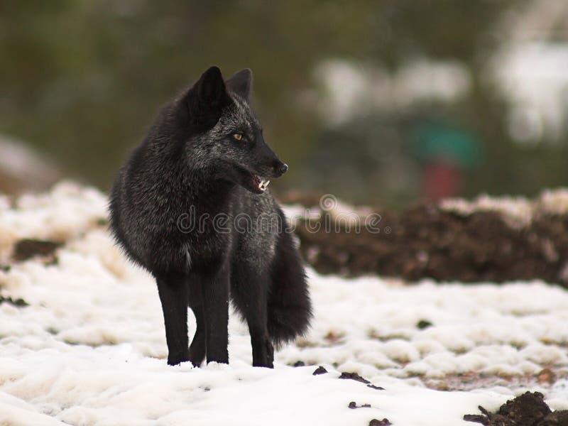 черная лисица стоковое фото