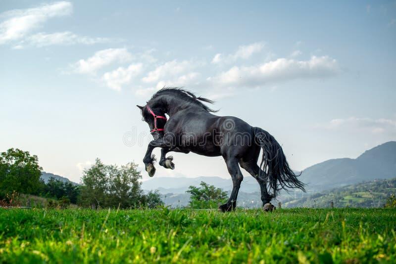 Черная лошадь бежать на ферме горы в Румынии, черная красивая лошадь friesian стоковое изображение rf