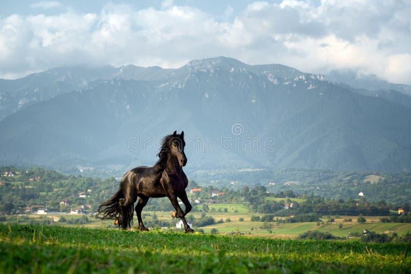 Черная лошадь бежать на ферме горы в Румынии, черная красивая лошадь friesian стоковые изображения rf