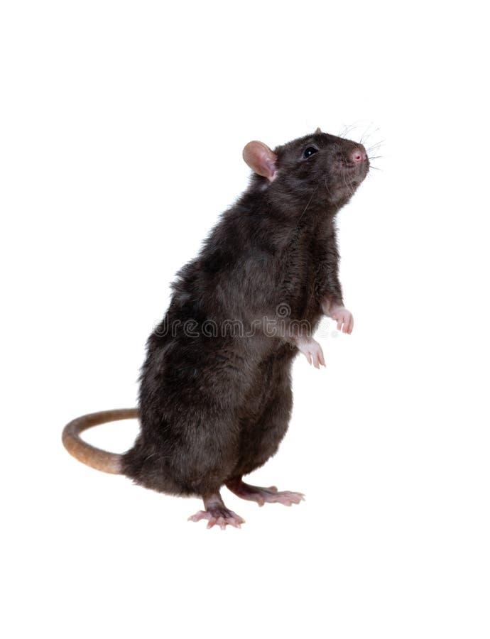 черная любознательная крыса стоковое изображение rf