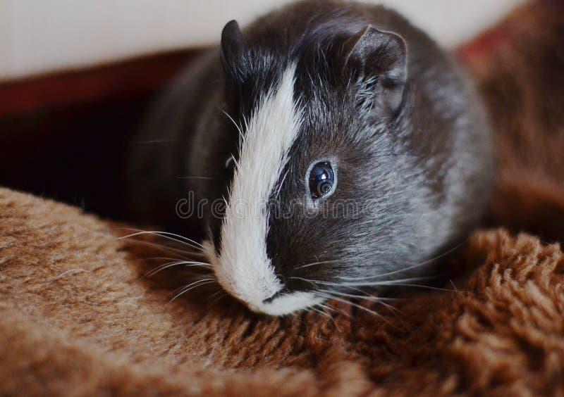 Черная морская свинка с белой нашивкой на лбе стоковые фотографии rf