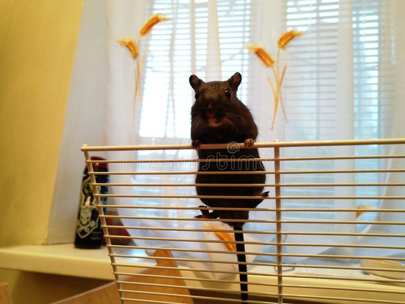 Черная мышь на клетке Восхождение Маленький стоковая фотография rf