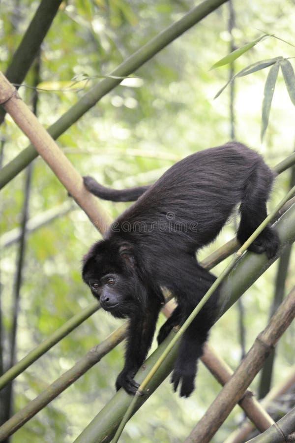 Черная обезьяна ревуна - Alouatta Palliata стоковая фотография