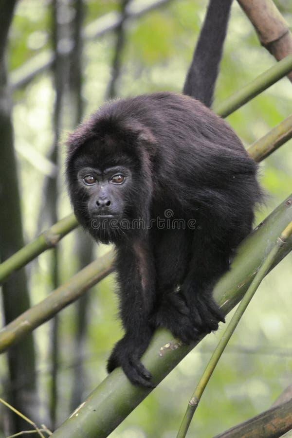 Черная обезьяна ревуна - Alouatta Palliata стоковые изображения rf