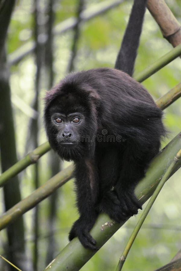 Черная обезьяна ревуна - Alouatta Palliata стоковые фотографии rf