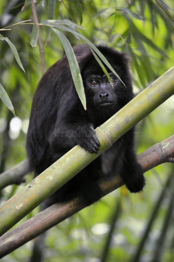 Черная обезьяна ревуна - Alouatta Palliata стоковое изображение rf
