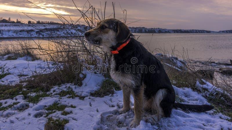 Черная охотничья собака сидит на пляже на фоне красивого захода солнца в зимнем времени стоковое изображение