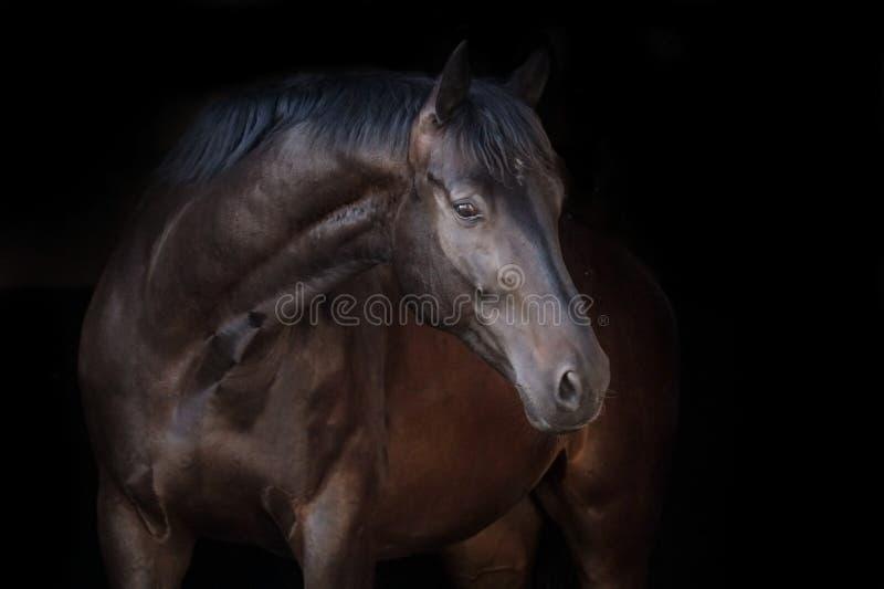 черная лошадь стоковая фотография
