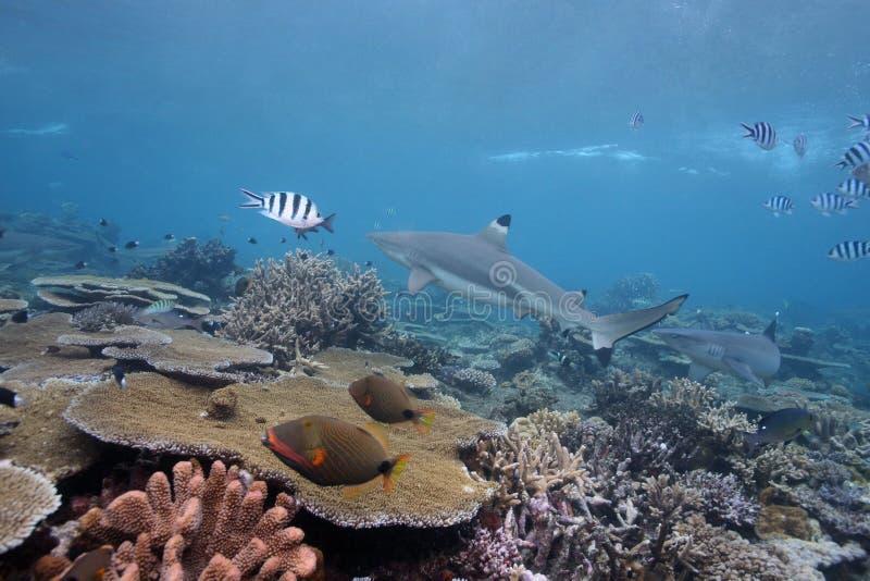 черная подсказка акулы стоковые изображения rf