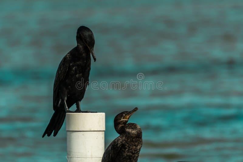 Черная птица на деревянной пристани на лагуне Conceicao, в Florianopolis, Бразилия стоковая фотография rf