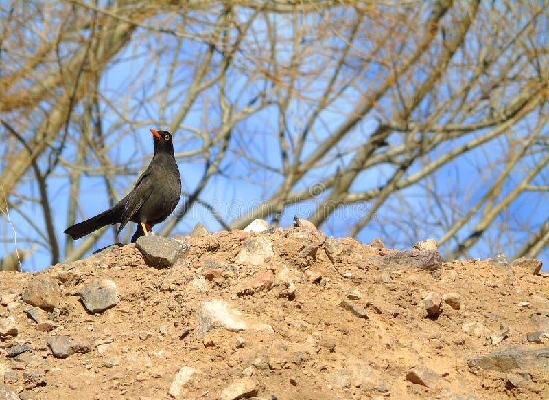 Черная птица рябинника стоковые изображения rf