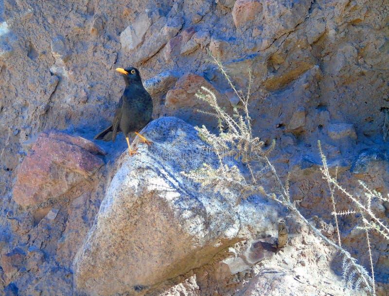 Черная птица рябинника стоковая фотография rf
