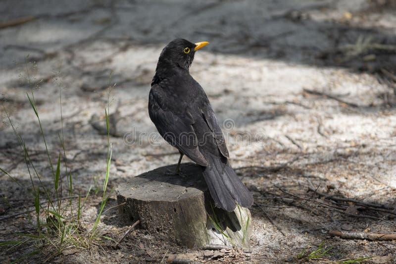 Черная птица сидит на пеньке в парке стоковое изображение rf