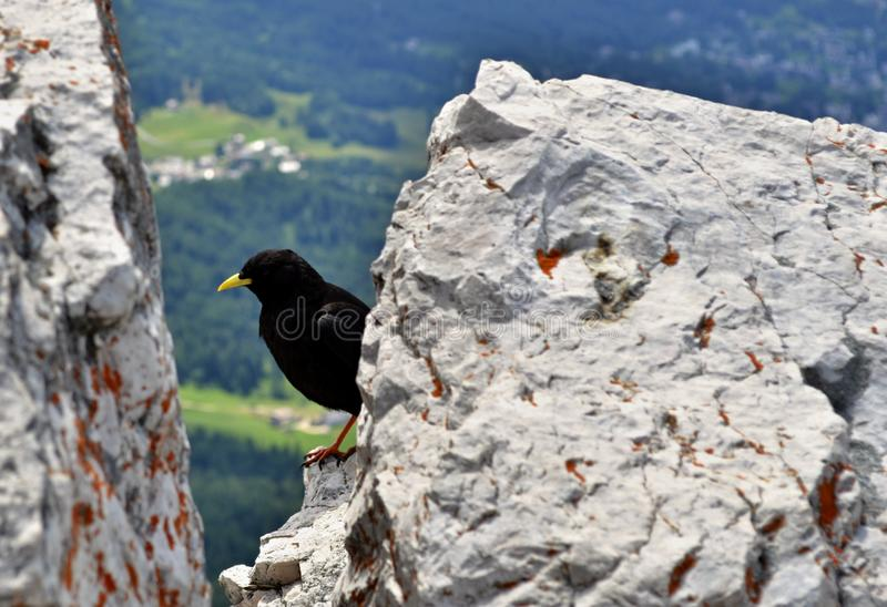 Черная птица с желтым клювом между утесами на горном пике стоковое фото rf