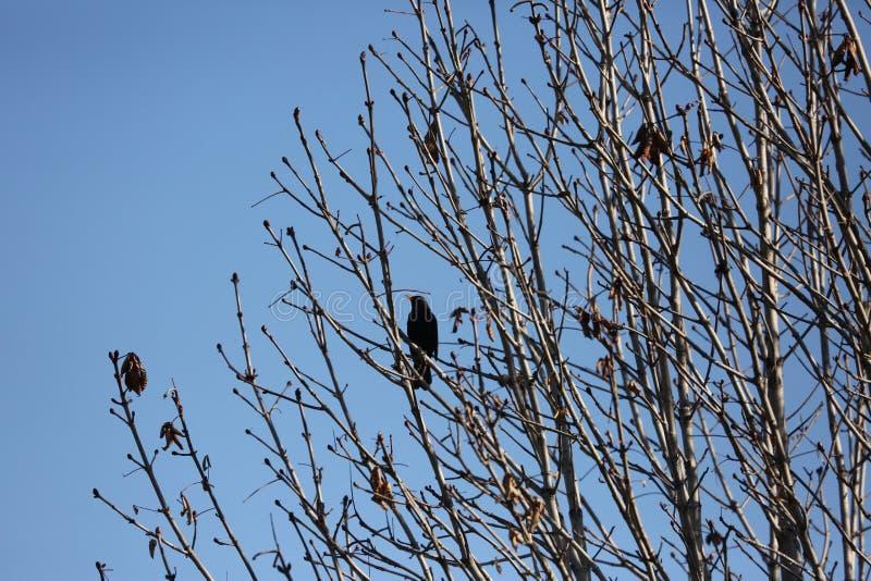 Черная птица starling стоковые фотографии rf