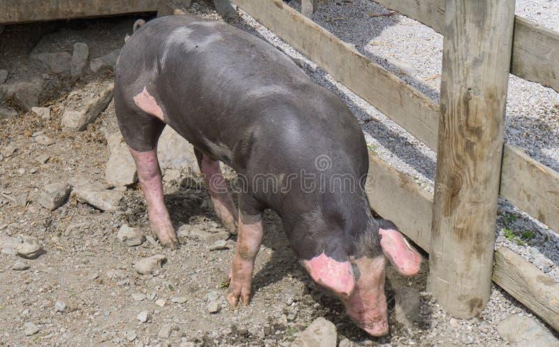 Черная свинья с розовыми пятнами на австрийской ферме стоковое изображение