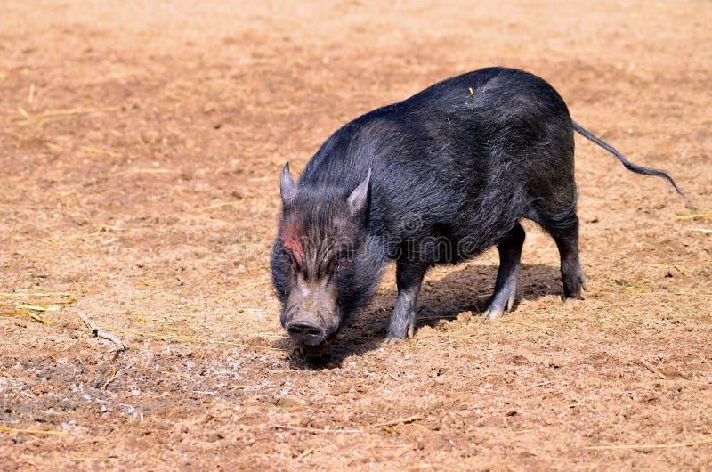 Черная свинья стоковое изображение rf