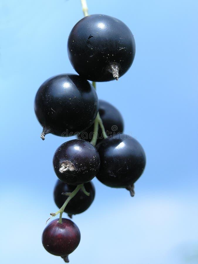 черная смородина стоковое фото rf