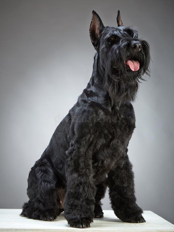 Черная собака гигантского шнауцера стоковые фотографии rf