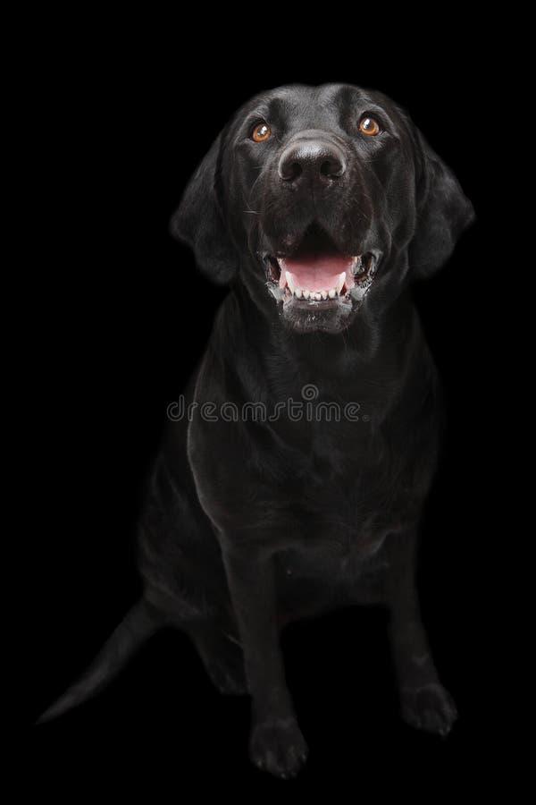 Черная собака Лабрадора стоковые фотографии rf