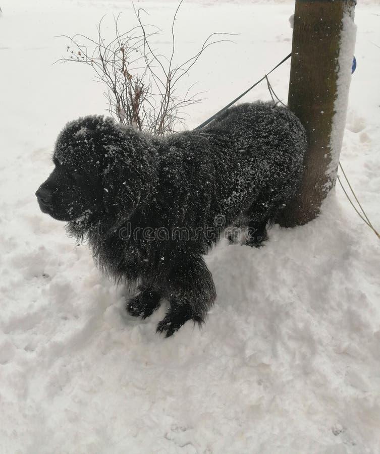 Черная собака на белом снеге стоковая фотография rf
