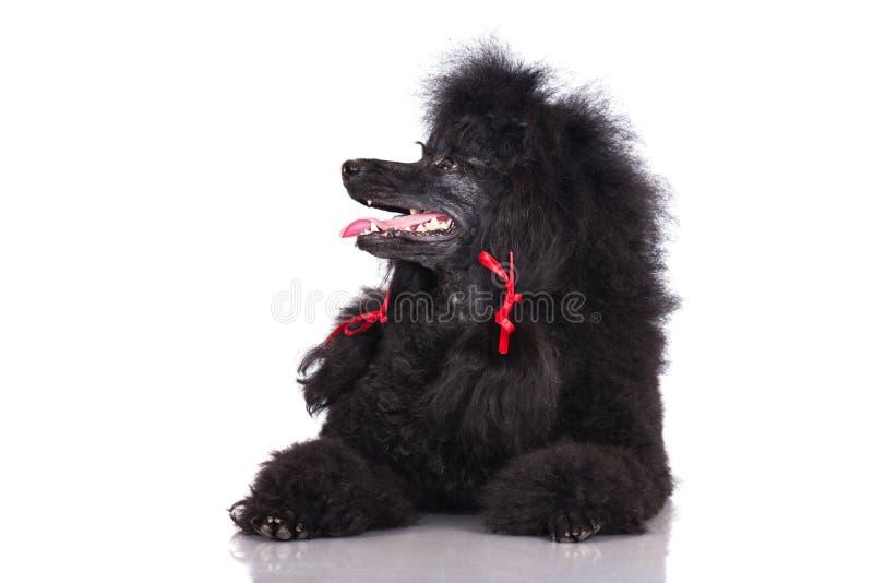 Черная собака пуделя стоковая фотография rf