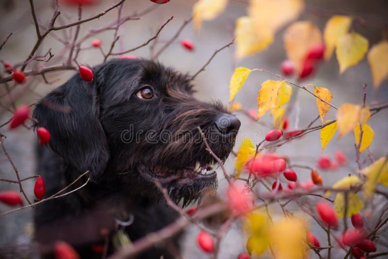 Черная собака сидя в лесе осени стоковая фотография