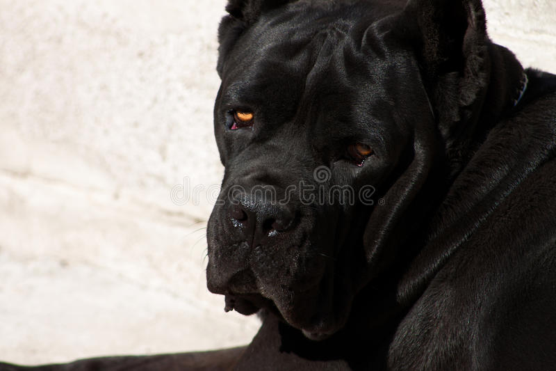 Черная собака с выразительным взглядом стоковое фото