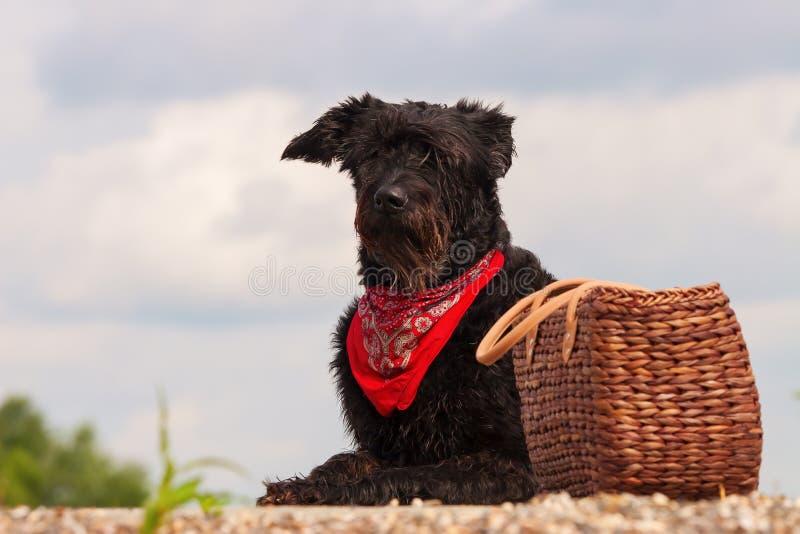 Черная собака с корзиной пикника стоковое изображение rf