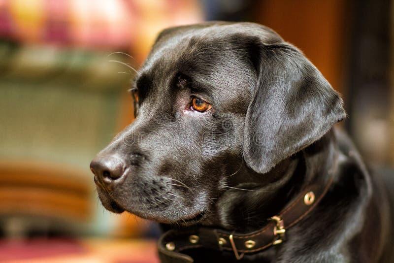 Черная собака labrador стоковые изображения rf