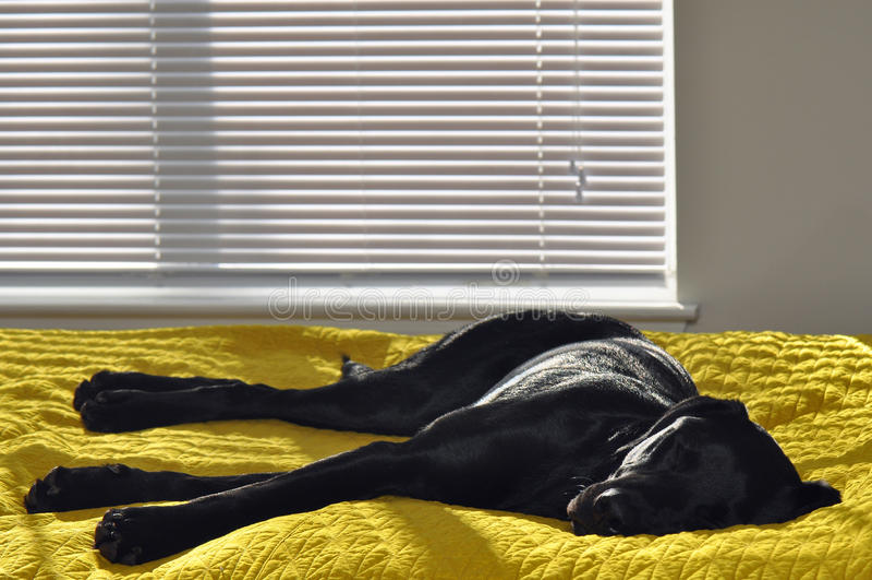 Черная собака Retriever Laborador стоковое изображение rf