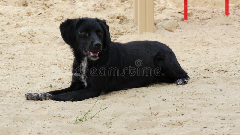 Черная старая собака лежит на песке в горячем лете стоковые изображения