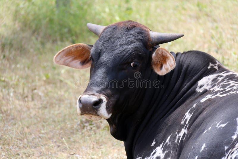 Черная сторона коровы Брахмана стоковое изображение