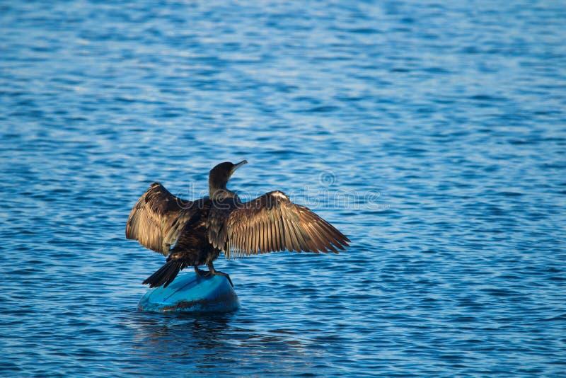 Черная утка в Стамбуле стоковые фотографии rf