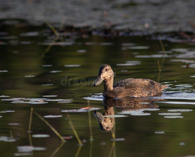 Черная утка на пруде бобра на сумерках стоковое фото rf