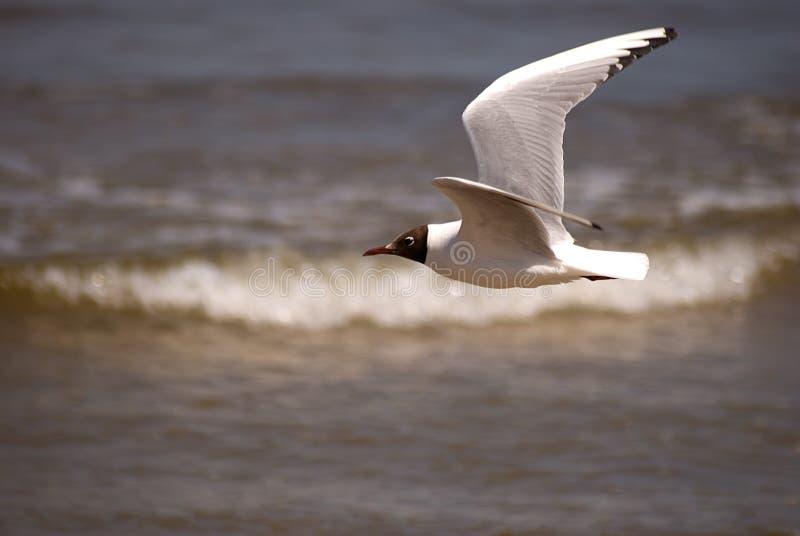 черная чайка возглавила jurmala latvia стоковое фото rf