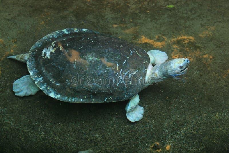 черная черепаха пруда стоковое изображение rf