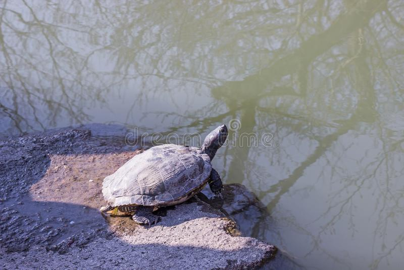 Черная черепаха цвета загорая на камне около пруда внутри ботанического сада стоковые фотографии rf