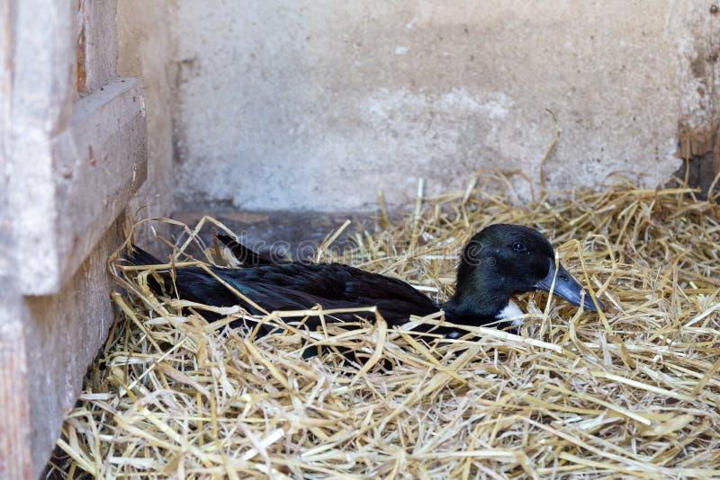 Черная шведская утка стоковая фотография rf