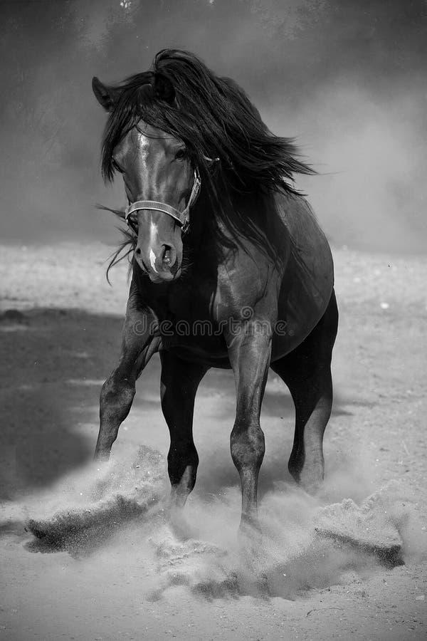 черная galloping лошадь стоковое изображение