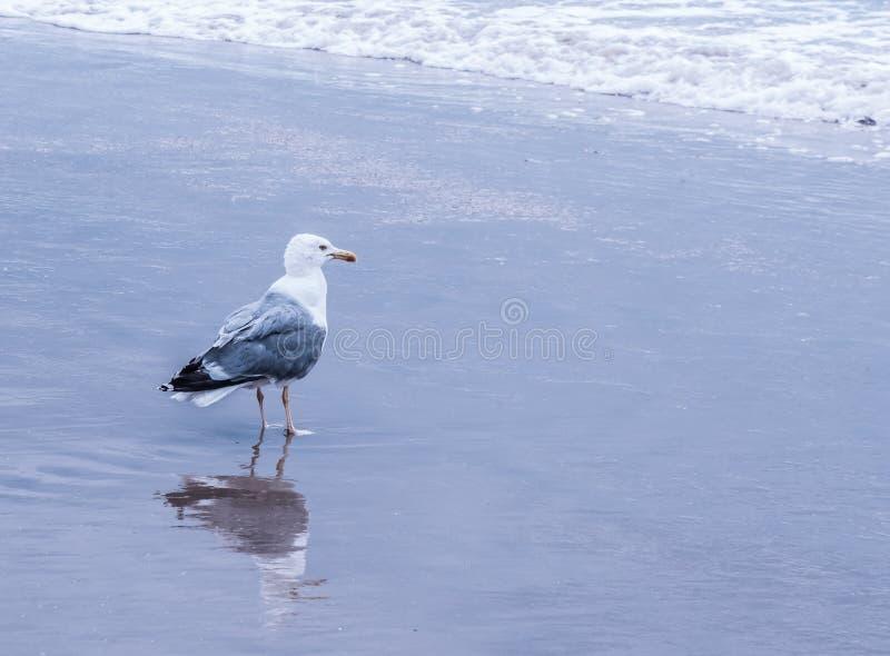 Черное подпертое положение чайки на воде стоковые фотографии rf