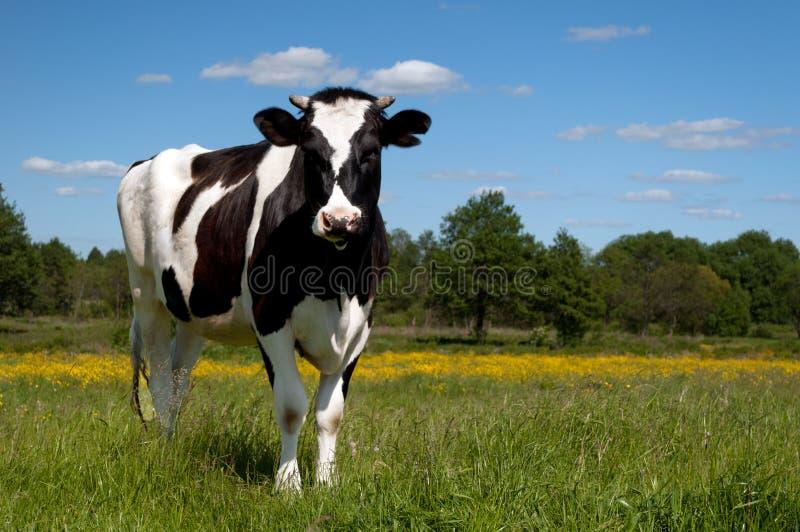 черное поле коровы пася стоковая фотография rf