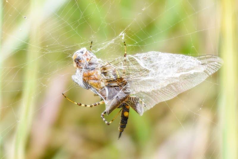 Черное lacerata Tramea Dragonfly Saddlebags уловило в сети стоковое изображение