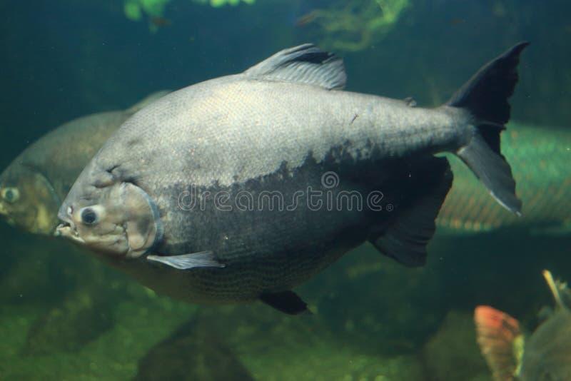 Черное Pacu стоковая фотография rf