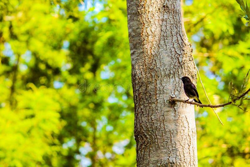 Черное phoebeBird стоковое фото