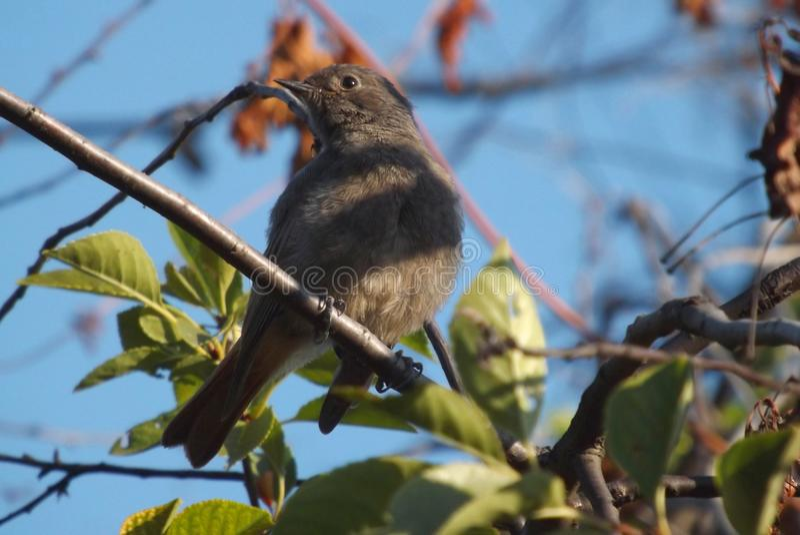Черное redstart на ветви дерева стоковая фотография rf