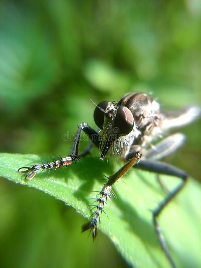 Черное Robberfly стоковая фотография