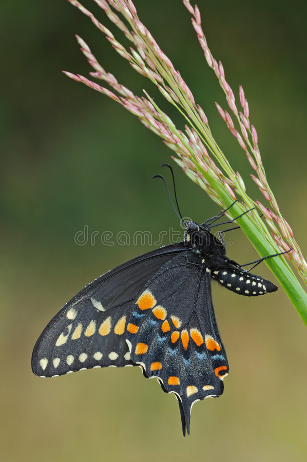 черное swallowtail бабочки стоковое фото rf